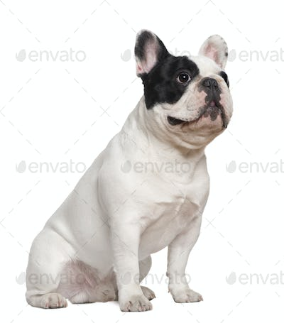 French bulldog sitting on table, 1 and a half years old, in front of white background