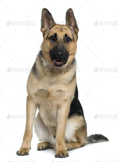 German Shepherd dog, 10 months old, sitting in front of white background
