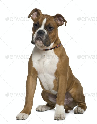 Boxer, 5 months old, sitting in front of white background