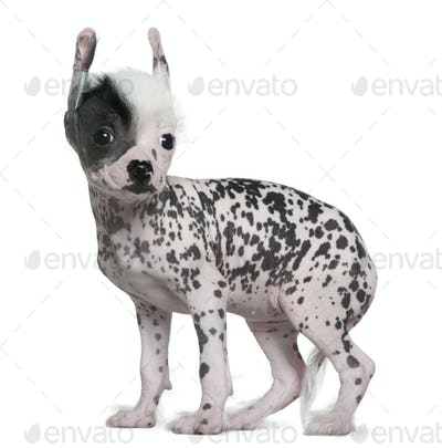 Chinese hairless crested dog, 6 weeks old, standing in front of white background