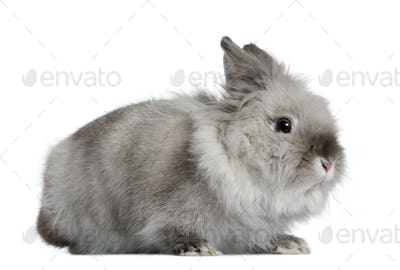 Rabbit, 1 year old, in front of white background