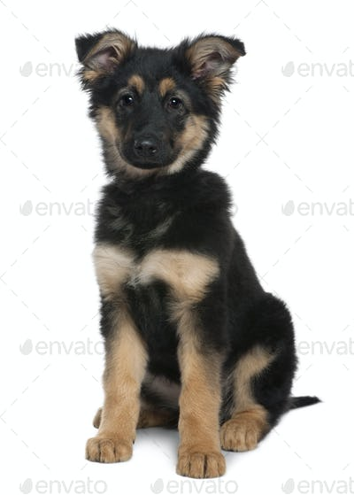 German Shepherd puppy, 3 months old, sitting in front of white background