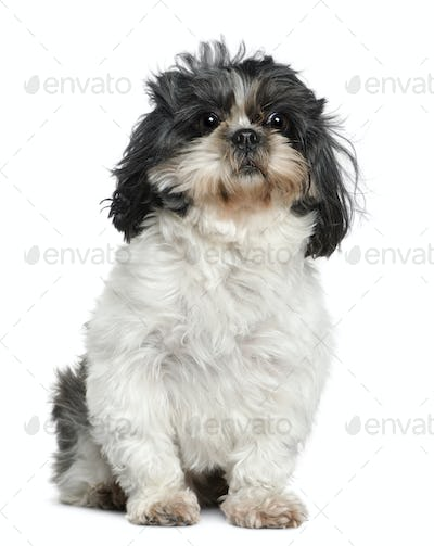 Shih Tzu, 7 years old, sitting in front of white background