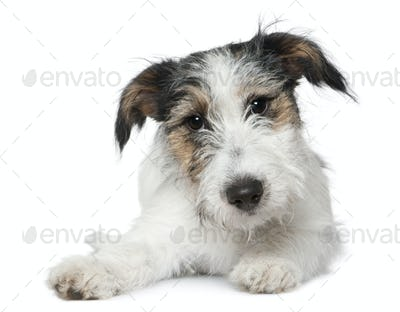 Jack Russell Terrier, 5 months old, lying in front of white background