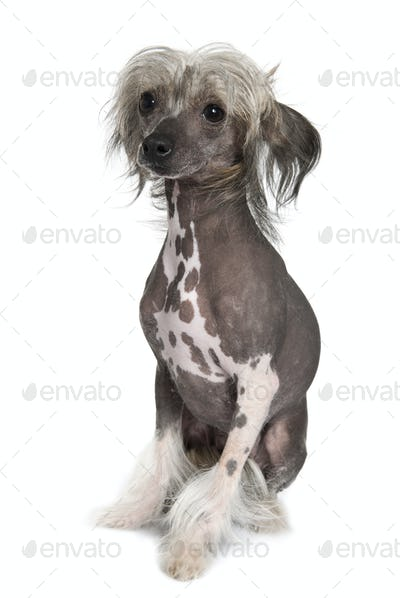 Chinese hairless crested dog, 2 years old, sitting in front of white background