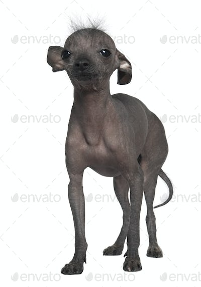 Chinese hairless crested dog, 5 years old, standing in front of white background
