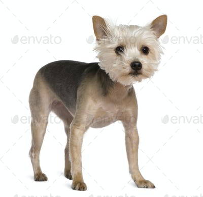 Yorkshire Terrier, 2 years old, standing in front of white background