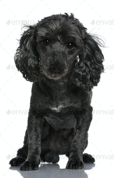 Poodle, 6 years old, sitting in front of white background