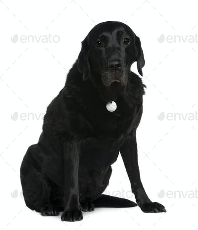 Labrador Retriever, 12 years old, sitting in front of white background