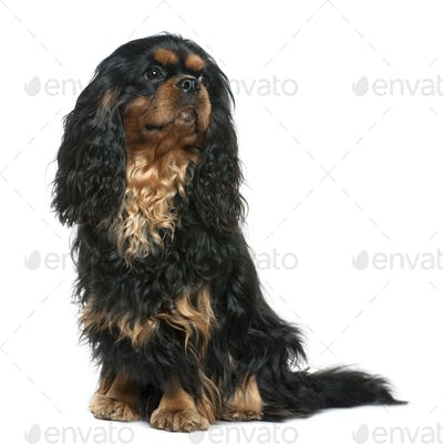 Cavalier king Charles dog, 1 year old, sitting in front of white background