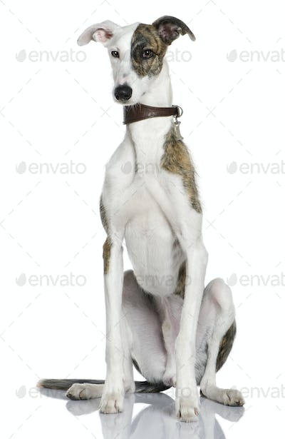 Galgo espanol dog, 1 year old, sitting in front of white background