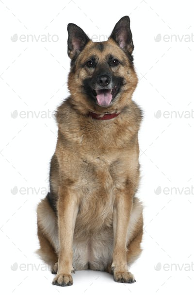 Mixed German Shepherd, 6 years old, sitting in front of white background