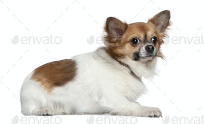 Chihuahua, 16 months old, lying in front of white background