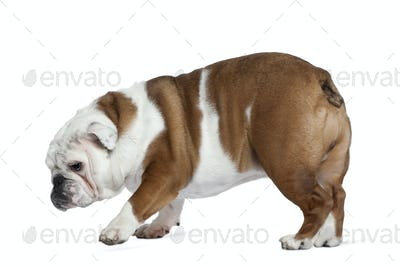 English bulldog, 19 months old, standing in front of white background