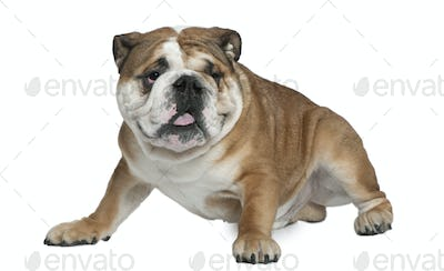 English bulldog, 1 and a half years old, sitting in front of white background