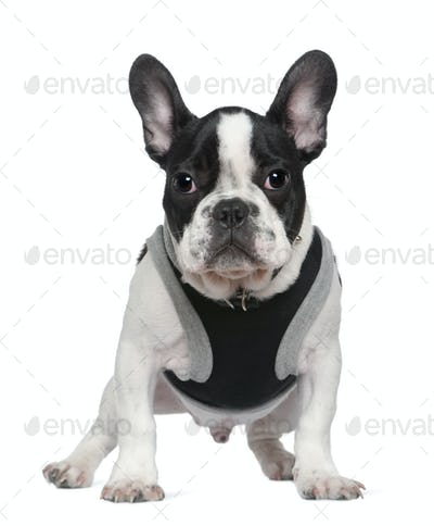 French bulldog puppy, 5 months old, in front of white background