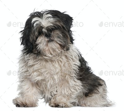 Shih Tzu, 3 years old, sitting in front of white background
