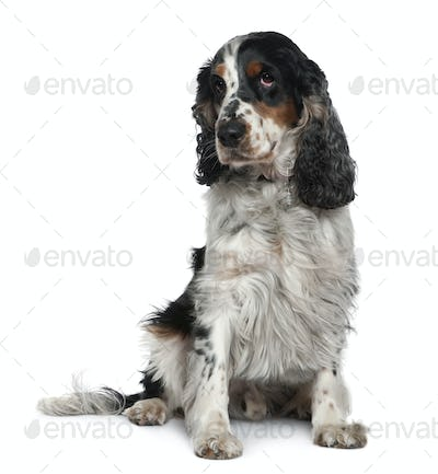 English Cocker spaniel, 4 years old, sitting in front of white background