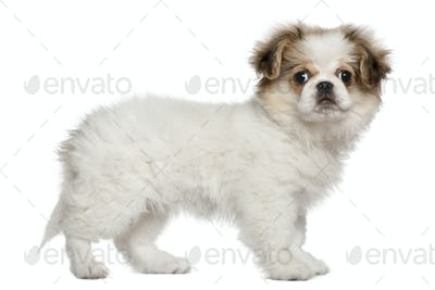 Pekingese puppy, 3 months old, standing in front of white background