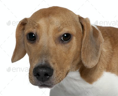 Close-up of Mixed-breed dog, 10 months old, in front of white background