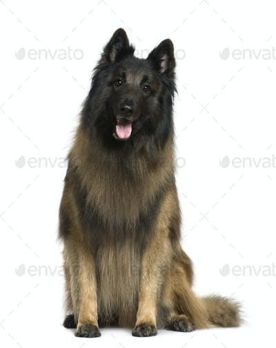 Belgian shepherd dog, Tervuren, 4 years old, sitting in front of white background