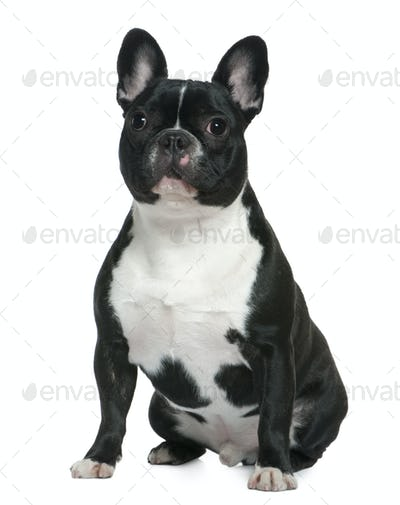 French bulldog, 1 and a half years old, sitting in front of white background
