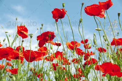 Red poppies in spring