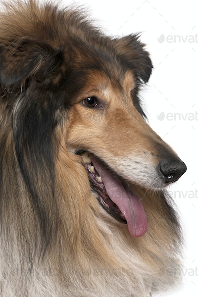 Close-up of Rough collie with tongue out, 5 years old, in front of white background