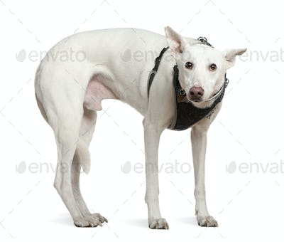 Galgo espanol, 4 years old, standing in front of white background