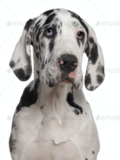Great Dane puppy, 6 months old, in front of white background