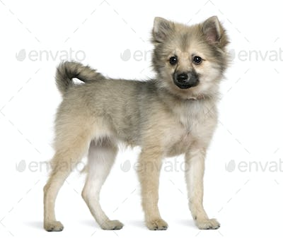 German spitz puppy, 6 months old, standing in front of white background