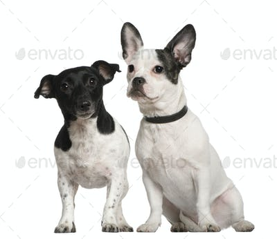 Mixed-breed dog and Jack Russell terrier sitting in front of white background