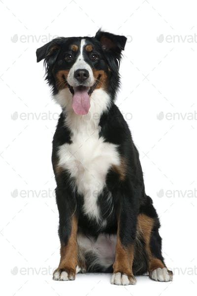 Bernese mountain dog, 18 months old, sitting in front of white background