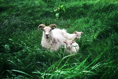 Sheeps family on green meadow
