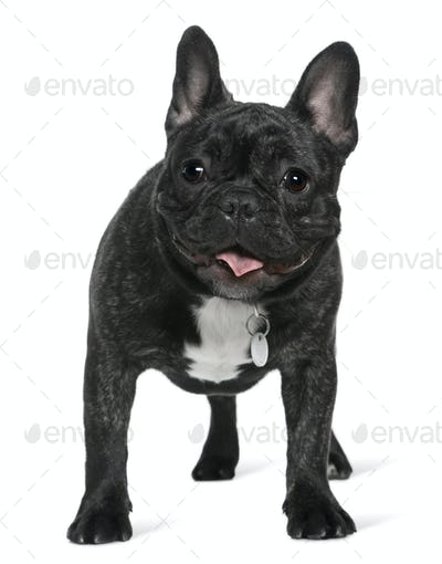 French bulldog, 5 months old, standing in front of white background