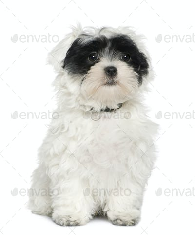 Havanese puppy, 3 months old, sitting in front of white background