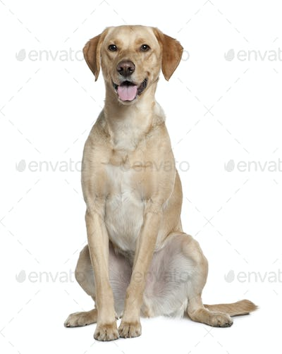 Labrador retriever, 20 months old, sitting in front of white background