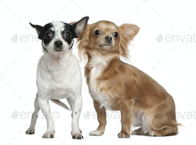 Two Chihuahuas, 4 years old and  18 months old, in front of white background