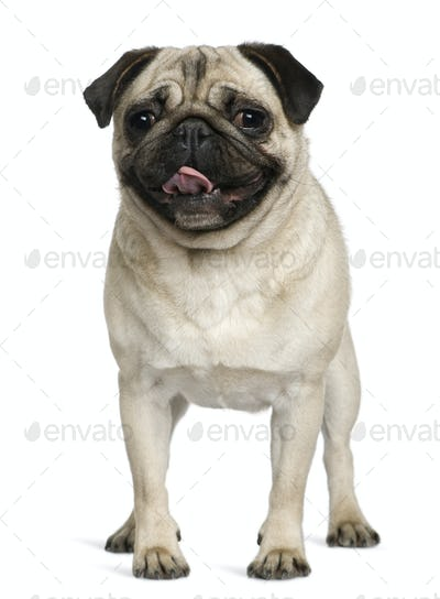 Pug, 2 Years old, standing in front of white background
