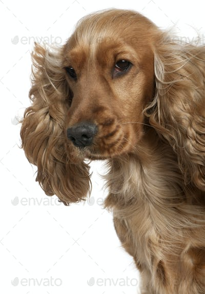 English Cocker spaniel with hair blowing in the wind, 18 months old, in front of white background