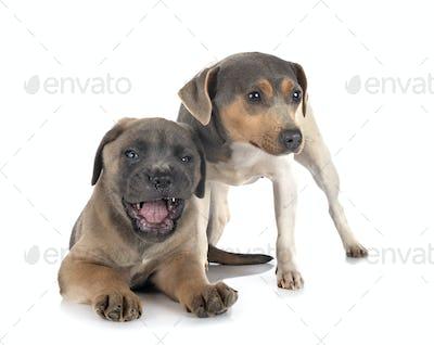 puppy cane corso and brazilian terrier