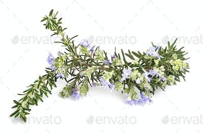 Salvia rosmarinus in studio