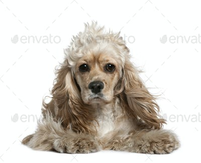 American cocker spaniel, 17 months old, in front of white background