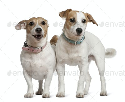 Two Jack Russell terriers, 5 years old and  6 months old, standing in front of white background
