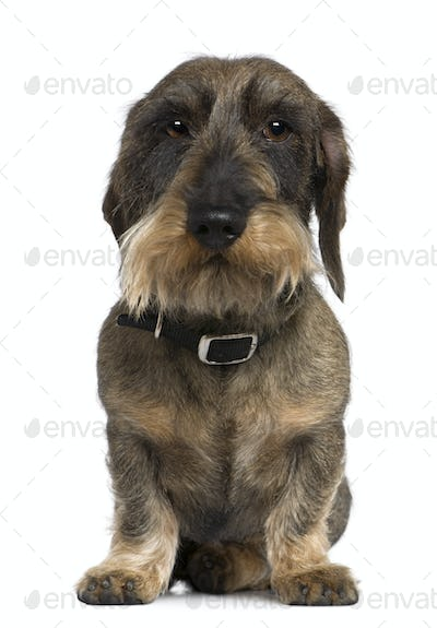 Dachshund, 4 years old, sitting in front of white background