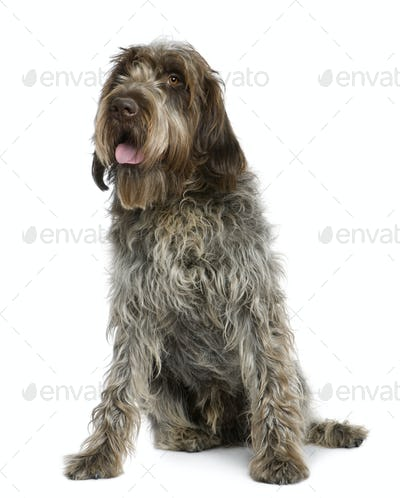 Wirehaired Pointing Griffon, 11 months old, sitting in front of white background
