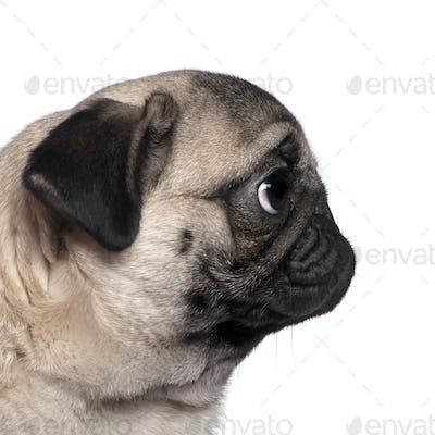 Profile view of a Pug, 7 months old, in front of white background