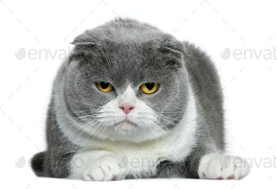 Scottish fold cat, 5 years old, lying in front of white background
