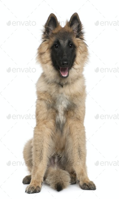 Belgian shepherd, Tervuren, 5 months old, sitting in front of white background