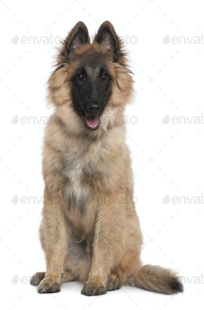 Belgian shepherd, Tervuren, 5 months old, sitting in front of white background